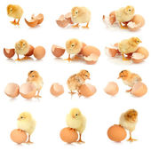 Collage of beautiful little chickens and eggs — Stock Photo