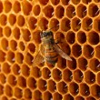 Yellow beautiful honeycomb with honey and bee, background — Стоковая фотография