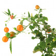 Decorative tree with fruits close-up isolated on white — Stock Photo