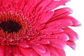 Beautiful pink gerbera flower isolated on white — Stock Photo
