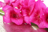 Beautiful gladiolus flower close up — Stockfoto
