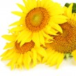 Sunflowers isolated on white — Stock Photo