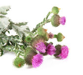 Thistle flowers isolated on white — Stock Photo