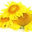 Stock Photo: Sunflowers isolated on white