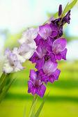 Beautiful gladiolus flower on bright background — Stock Photo