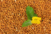 Mustard seeds with mustard flower, close up — Stock Photo
