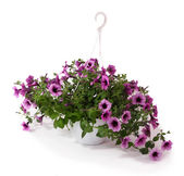Purple petunia in flowerpot on white background — Stock Photo