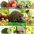 Collage of autumn apples and hedgehog — Stock Photo