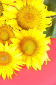 Beautiful sunflowers on color background — Stock Photo