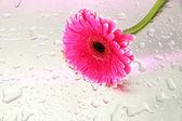Beautiful pink gerbera flower, close up — Stock Photo