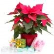 Beautiful poinsettia with different presents isolated on white — Stock Photo #31012477