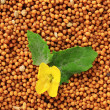 Stock Photo: Mustard seeds with mustard flower, close up