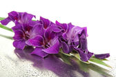 Beautiful gladiolus flower close up — Stok fotoğraf