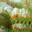 Fir tree branch with snow, close up — Stock Photo #31536801