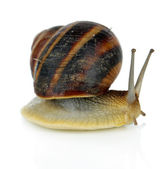Snail isolated on white — Stock Photo