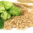 Fresh green hops and barley, isolated on white — Stock Photo #32140511