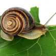 Snail on leaf close-up — Stock Photo