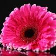 Beautiful pink gerbera flower on black background — Stock Photo