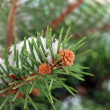 Fir tree branch with snow, close up — Foto Stock