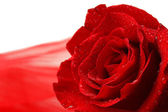Beautiful rose and color fabric, isolated on white — Stok fotoğraf