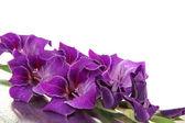 Beautiful gladiolus flower close up — Stock Photo