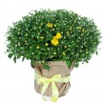 Chrysanthemum bush in pot isolated on white — Stock Photo #32505223