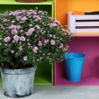Chrysanthemum bush in pot with color boxes and instruments close up — Stock Photo #32505647