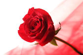 Beautiful rose and color fabric, isolated on white — Stock Photo