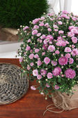 Chrysanthemum bush in pot on wooden table close up — Stock Photo