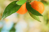 Ripe sweet tangerines with leaves, on green background — Stock Photo