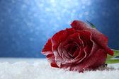 青色の背景に雪の中で赤いバラ — ストック写真
