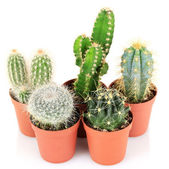 Collection of cactuses, isolated on white — Stock Photo