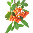 Pyracantha Firethorn orange berries with green leaves, isolated on white — Stock Photo