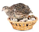 Codornas jovens com ovos isolados no branco — Foto Stock