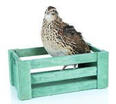 Young quail in wooden box isolated on white — Stock Photo