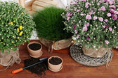 Chrysanthemum bushes and grass in pots on wooden table close up — Stock Photo