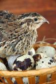 Jonge kwartel met eieren op stro op houten achtergrond — Stockfoto