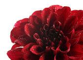 Dahlia flower, isolated on white — Stock Photo