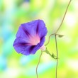 Blue convolvulus (bindweed) flower on nature background — Stock Photo #33177263