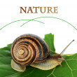 Snail on leaf close-up — Stock Photo