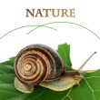 Snail on leaf close-up — Stock Photo #33178839