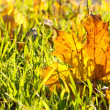 Beautiful autumn maple leaf on green grass, close up — Stock Photo