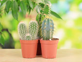 Collection of cactuses, on natural background — Stock Photo