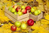 Lådor av färska mogna äpplen i trädgården på höstlöv — Stockfoto