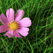 Beautiful pink flower on green grass, close up — Stock Photo