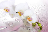 White beautiful orchid with drops on pink background — Stock Photo