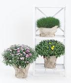 Chryzantema krzewów i trawy w doniczkach na stoisku na białym tle — Zdjęcie stockowe