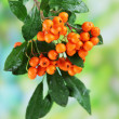 Stock Photo: PyracanthFirethorn orange berries with green leaves, on bright background