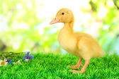 Cute duckling on green grass, on bright background — Stock Photo