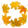 Yellow maple leaves isolated on white — Stock Photo